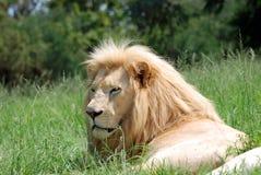 Grande leone maschio africano Fotografie Stock
