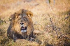 Grande leone maschio che si trova nell'erba nel Botswana immagine stock libera da diritti