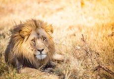 Grande leone nella savana del Botswana fotografia stock