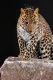 Grande leopardo bonito Fotografia de Stock Royalty Free