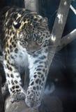 Grande leopardo dell'Amur che percorre su un grande ceppo fotografia stock libera da diritti