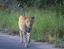 Grande leopardo maschio Immagine Stock Libera da Diritti