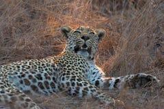 Grande leopardo masculino bonito que descansa na natureza em recolher a obscuridade Foto de Stock