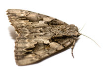 Grande lepidottero Immagine Stock