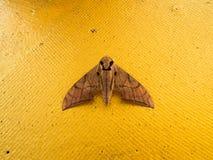 Grande lepidottero Fotografia Stock Libera da Diritti