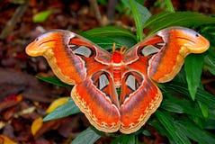 Grande lepidottero Fotografia Stock
