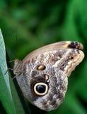 Grande lepidottero del peackcock che riposa su una foglia Fotografia Stock