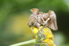 Grande lepidottero marrone Fotografie Stock