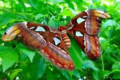 Grande lepidottero simile a pelliccia Fotografia Stock