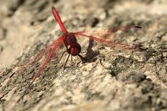 Grande libélula vermelha imagens de stock