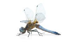 Grande libellula blu (depressa di Libellula) Fotografie Stock