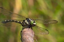Grande libellule avec les yeux verts Photographie stock libre de droits