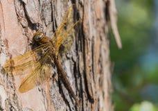 Grande libellule brune Photographie stock