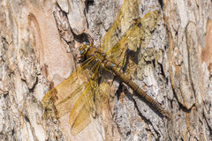 Grande libellule brune Image libre de droits