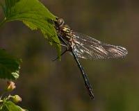 Grande libélula bonita, aenea de Cordulia Fotos de Stock