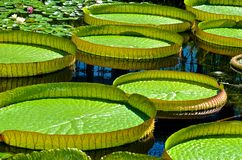 Grande Lilly Pads Floating Imagem de Stock
