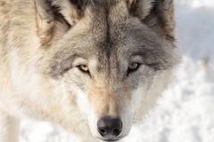 Grande lobo adulto do temporizador Imagens de Stock Royalty Free
