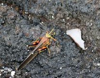 Grande locusta dipinta (Galapagos, Ecuador) Fotografia Stock