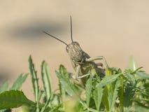 Grande locusta egiziana su una pianta del tagete immagini stock libere da diritti
