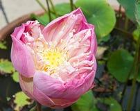Grande loto rosa Fotografie Stock