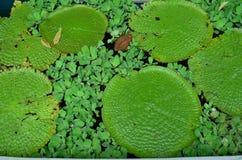 Grande Lotus Leaves fotografia stock