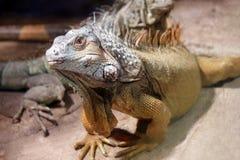 Grande lucertola dell'iguana fotografie stock libere da diritti