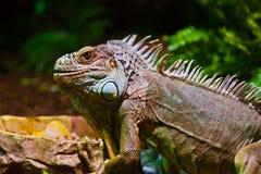 Grande lucertola dell'iguana in terrarium Immagini Stock