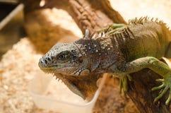 Grande lucertola - seduta verde dell'iguana immobile in una gabbia in un animale domestico Fotografia Stock