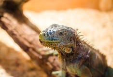 Grande lucertola - seduta verde dell'iguana immobile in una gabbia in un deposito dell'animale domestico Immagine Stock Libera da Diritti