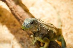 Grande lucertola - seduta verde dell'iguana immobile in una gabbia in un deposito dell'animale domestico fotografie stock libere da diritti
