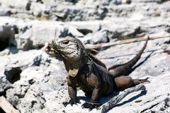 Grande lucertola sulla spiaggia di Costa Rica Fotografia Stock Libera da Diritti