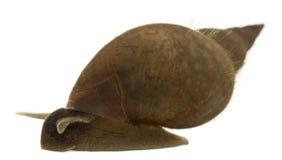 Grande lumaca dello stagno, stagnalis di Lymnaea fotografia stock