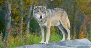 Grande lupo grigio maschio che sta su una roccia nella foresta archivi video