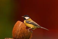 Grande mésange à noix Photo libre de droits