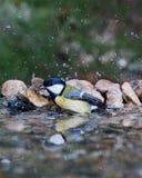Grande mésange se baignant dans l'eau photographie stock libre de droits