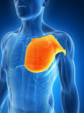 Grande músculo do peito ilustração royalty free