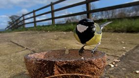 Grande m?sange alimentant de la noix de coco Suet Shells d'insecte en Irlande photo libre de droits