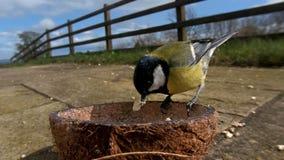Grande m?sange alimentant de la noix de coco Suet Shells d'insecte en Irlande photos stock