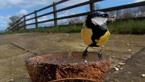 Grande m?sange alimentant de la noix de coco Suet Shells d'insecte en Irlande images stock