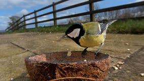 Grande m?sange alimentant de la noix de coco Suet Shells d'insecte en Irlande photos libres de droits