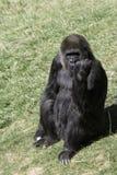 Grande macaco Imagem de Stock