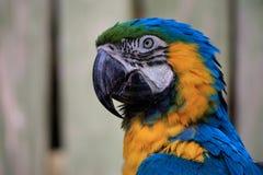 Grande Macaw azul Fotografia de Stock Royalty Free