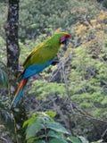 Grande Macaw verde Immagini Stock