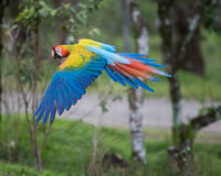 Grande Macaw verde Fotografia Stock Libera da Diritti
