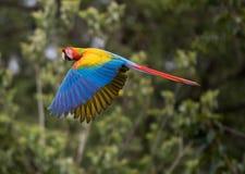 Grande Macaw verde Fotografie Stock
