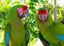 Grande Macaw verde (ambigua del ara) Immagine Stock
