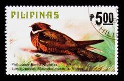 Grande macrotis di Lyncornis del Eared-nightjar, fauna - serie degli uccelli, circa 1979 Fotografie Stock