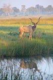 Grande maggior Kudu maschio Fotografia Stock Libera da Diritti