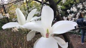 Grande magnolia blanche en parc clips vidéos
