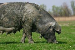 Grande maiale Fotografia Stock Libera da Diritti